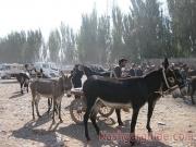 kashgar-lifestock-market-13