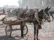 kashgar-lifestock-market-14