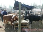 kashgar-lifestock-market-17