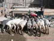 kashgar-lifestock-market-18