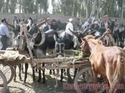 kashgar-lifestock-market-20