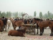kashgar-lifestock-market-3